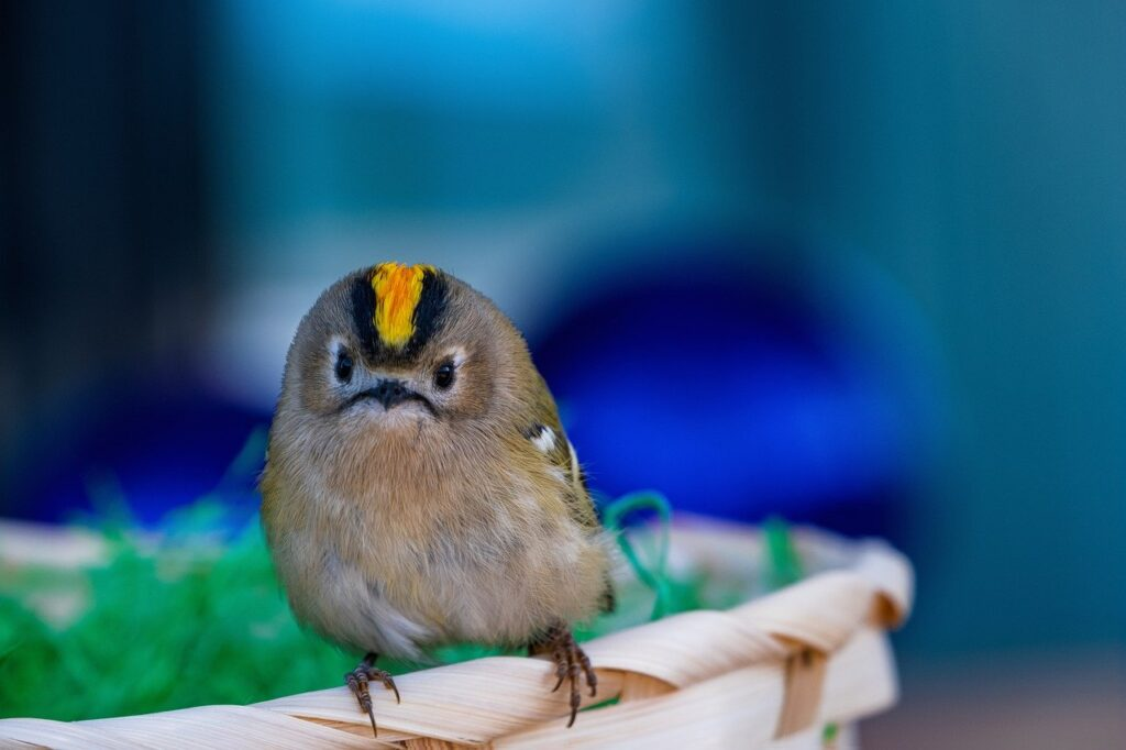 goldcrest, bird, regulus regulus